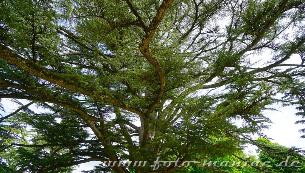 Sehenswerte Bäume im Park von Chateau Chambord