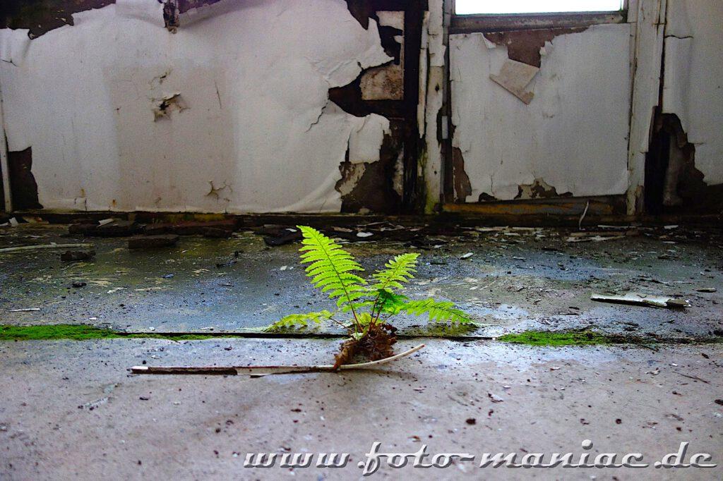 Farn wächst aus dem Fußboden