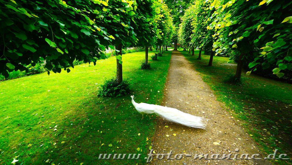 Weißer Fasan in Allee vom märchenhaften Chateau Rivau