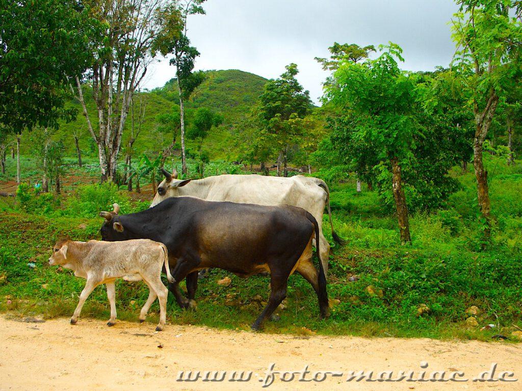 Eine Kuhfamilie am Straßenrand