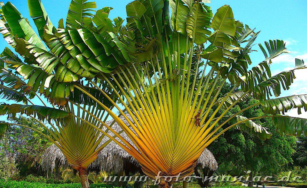 Palmen im Ferienresort in Punta Cana