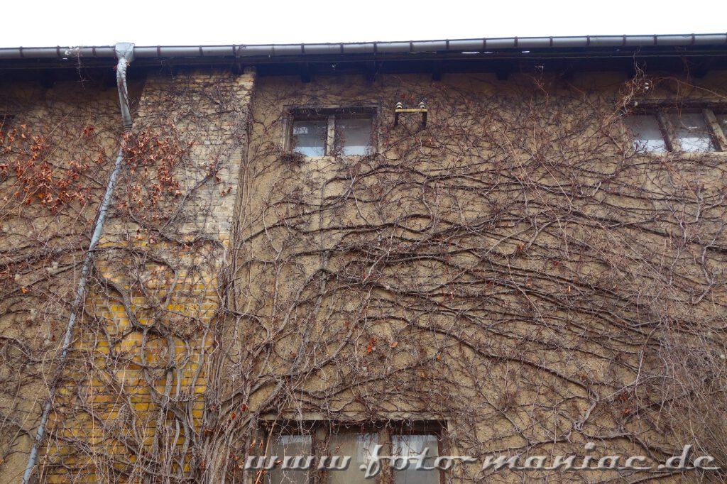 Wildwuchs an einer Fassade